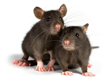 Why You Don't Want Rodents In and Around Your Home or Property